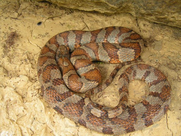 Hoosier Herpetological Society